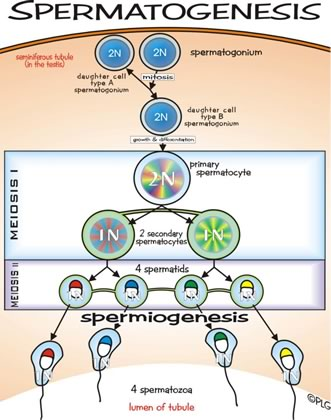 Topic simply process of forming sperm cells congratulate