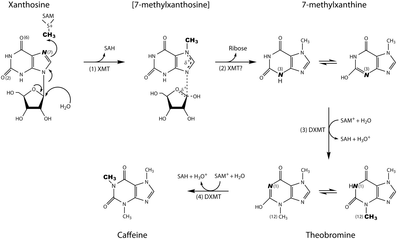 caffeine synthesis The caffeine molecule -- history  to begin the phosphorylation of specific enzymes used in glucose synthesis by blocking its removal caffeine.